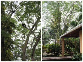 Howler monkeys in the trees at Casa Astrid.