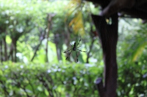 Golden orb spider at Casa Astrid. This is the one that built its web across our patio and Bryce ran into later.