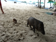 The not-so-wild, seemingly domesticated wild boar and its little piglet, making the rounds visiting people on Tortuga Island.