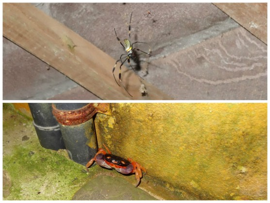 Golden orb spider and crab at Casa Astrid.