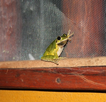 Frog perched on our window at Casa Astrid one night.