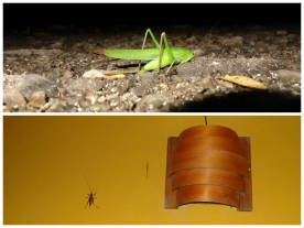 Green grasshopper that was in our Jimny and brown grasshopper on the wall of Casa Astrid. Both were huge!