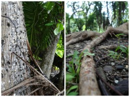 Left: Tree with thorns on its trunk in our backyard. Right: Leaf cutter ants toting around leaves in our backyard.