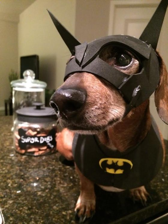 Roxie Dachshund the Batdog