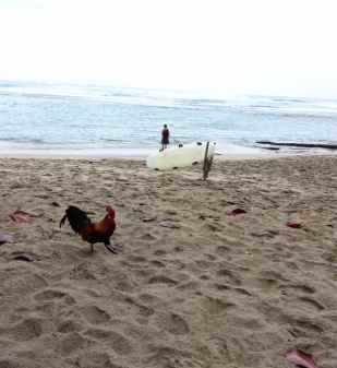 A rooster on the beach. Of course.